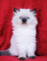 Persian Himalayan kittens are ready to go to their new homes