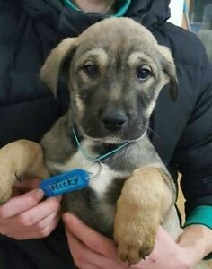 2 Rescued Korean Jindo puppies New to Canada Jan 6th 2017