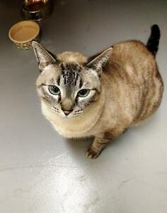 """Adult Female Cat - Domestic Short Hair: """"Samantha"""" Downtown-West End Greater Vancouver Area image 3"""