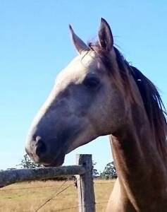 Arab x Stock horse Colt Orbost East Gippsland Preview