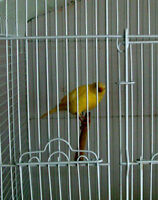 yellow canary female 18 months old