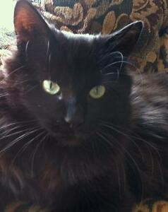 """Adult Male Cat - Domestic Long Hair: """"Niles"""" Downtown-West End Greater Vancouver Area image 2"""