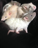 young rats, ready to go to a good home