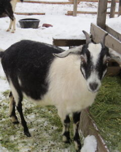 Young Dairy Goats For Sale