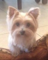 RARE blond yorkies purse pups 2-4lbs also mother for sale