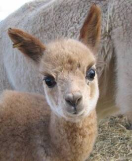 Alpaca/Llama Open Day from 11 am - 3 pm Greenleigh Queanbeyan Area Preview