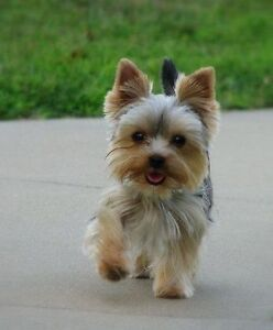 Looking for adult teacup yorkie