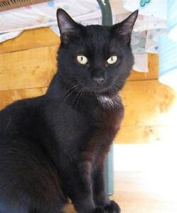 "Adult Male Cat - Domestic Short Hair: ""liam"""