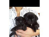 Black pugs puppies readyin a week