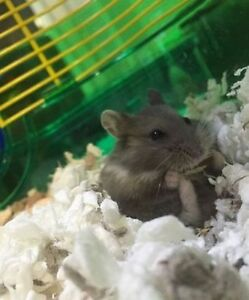 Free Grey Dwarf Hamster (comes with all supplies)