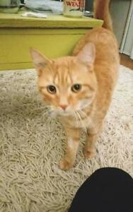 """Young Male Cat - Domestic Short Hair: """"Slim"""" Downtown-West End Greater Vancouver Area image 2"""