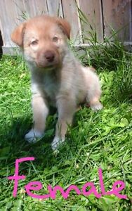 ONLY 1 LEFT! Purebred **BLUE EYED** Siberian Husky puppies SALE!