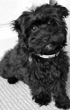 WANTED : Black Maltese X poodle Wellard Kwinana Area Preview
