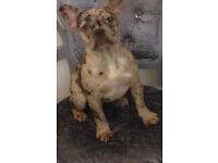 SOLD**Beautiful Choco Merle-blue carrier frenchbulldog**SOLD