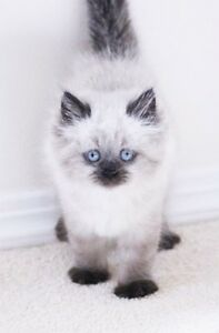 Colour pointed Persian kitten