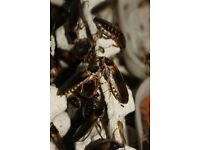 Blaptica Dubia Roach Colony