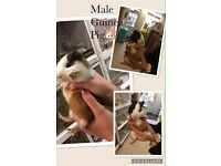 various stunning guinea pigs - male and female