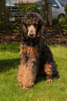 Standard Phantom Poodles  CKC/UKC Registered