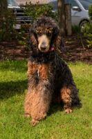 Phalen's Last Whelp [  Small 20 to 30 lb. Poodles ] CKC Reg.