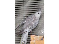 Beautiful Cockatiel bird parrot * £60 each *