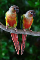 *** Breeding Pairs Of YellowSided Conures ***