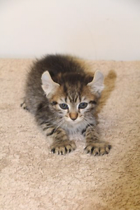 Highland lynx kitten Lithgow Lithgow Area Preview