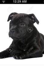 Stafford English bull terror  puppy Sunbury Hume Area Preview