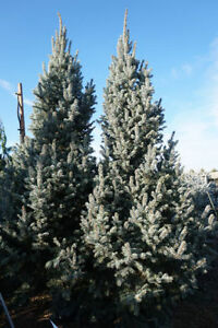 Real Christmas Trees for sale and Fresh cut greenery