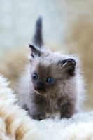 * Exotic Longhair - Chantilly Tiffany kittens
