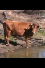 Jersey Cow in milk and her 4 month old Bull calf. Ballogie South Burnett Area Preview