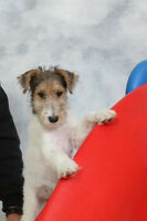 CKC REGISTERED: WIREFOX TERRIER