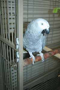 2 African Grey Parrots and Cage