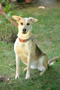 """Adult Female Dog - Whippet-Labrador Retriever: """"Tara"""""""
