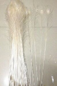 White Bleached Peacock Eye Feathers