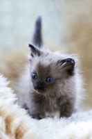 * Exotic Longhair - Chantilly Tiffany kittens