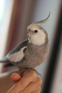 LOST!!! Male whiteface cockatiel please help Medowie Port Stephens Area Preview