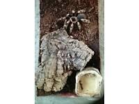 Redknee tarantulas