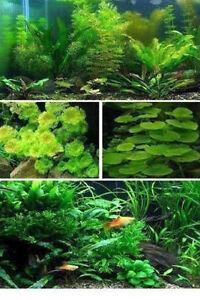 belles plantes d'aquarium d'eau douce, et... Québec City Québec image 4