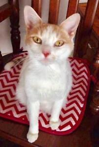 Adult Female  - Domestic Short Hair - orange and white