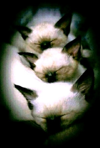 ⭐⭐⭐MAGNIFIQUES CHATONS SIAMOIS ⭐PURE SIAMESE KITTENS⭐⭐⭐