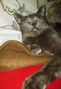 """Adult Female Cat - Domestic Short Hair: """"Missy"""" Downtown-West End Greater Vancouver Area image 2"""