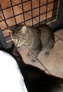 """Young Male Cat - Domestic Short Hair: """"Macjack"""" Downtown-West End Greater Vancouver Area image 2"""