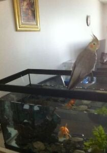 9 month old Cockatiel with cage, food, and bird toys