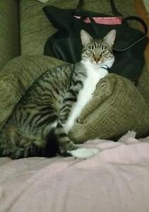"Young Female Cat - Domestic Short Hair: ""Junipurr"" Downtown-West End Greater Vancouver Area image 1"
