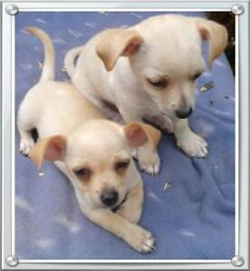 2   female  chihuahua  puppies for sale (no papers)