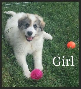 Great Pyrenese Border Collie Cross Puppies