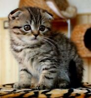 Buying (not selling) female Scottish fold kitten like the photo