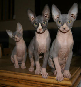 CHATONS SPHYNX