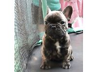 3 Brindle SHOW Standard French Bulldog puppies for sale. K.C. Registered.