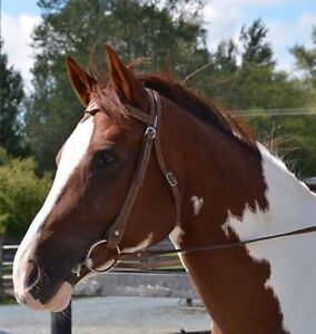 Stunning pinto mare for sale